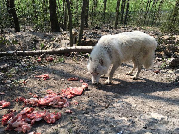 Le loup artique : une complicité étonnante avec ses soigneurs , une approche à pas feutrés
