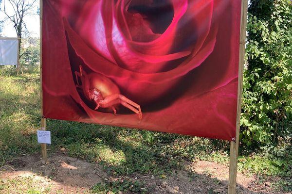 Un insecte blotti dans une rose