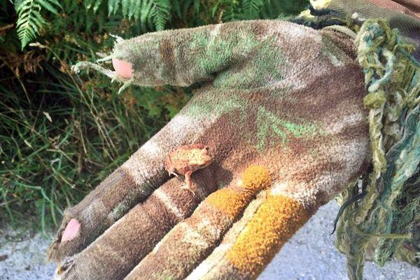 Cette grenouille se confond avec les couleurs de ce gant de camouflage