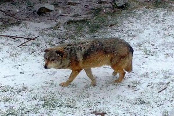 Sainte-Lucie (Lozère) - un loup dans le parc du Gévaudan - 9 mars 2016.
