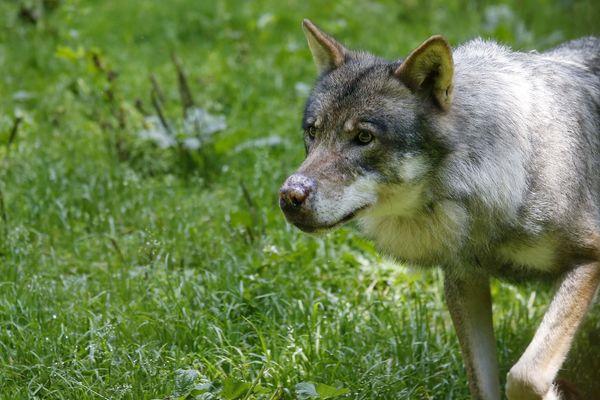 Pour la France entière, 98 loups ont été abattus en 2019.