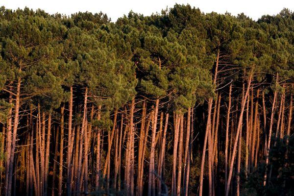 Un forêt de pins maritimes - Photo d'illustration