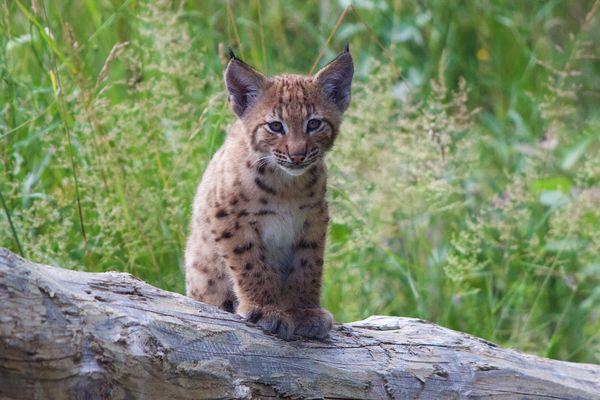 Le lynx est une des 50 espèces présentes au parc de la Garenne, en Suisse. Le site est consacré à la préservation de la faune sauvage européenne.