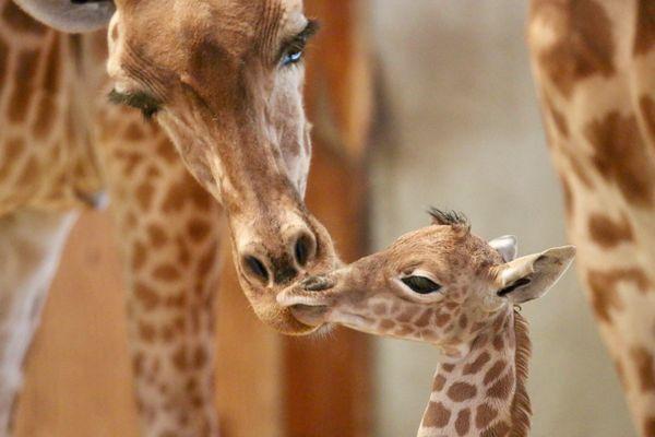 Kissa et son girafon. ©Zoo de Champrépus