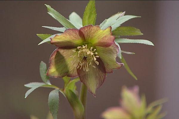 Une des variétés hybridées aux Jardins de Bellevue par Martine Lemonnier, propriétaire des lieux.