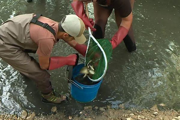 Bourdic (Gard) - les pêcheurs s'organisent pour sauver les poissons qui souffrent de la sécheresse des rivières - juillet 2019