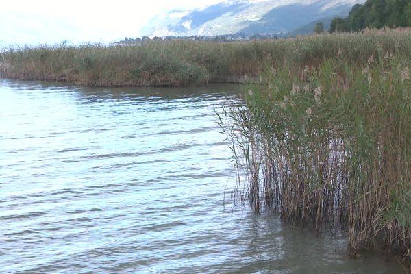 Roselière du lac du Bourget en Savoie
