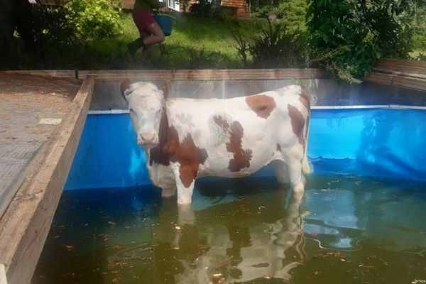 La vache s'était enfuie de son troupeau.