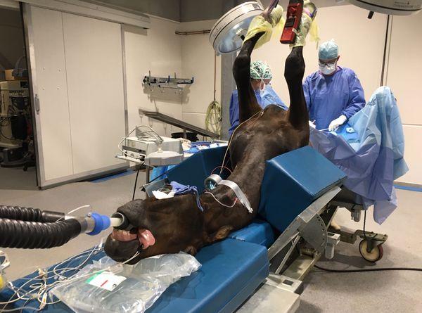 L'opération se déroule dans une salle dédiée, le cheval a été endormi auparavant.