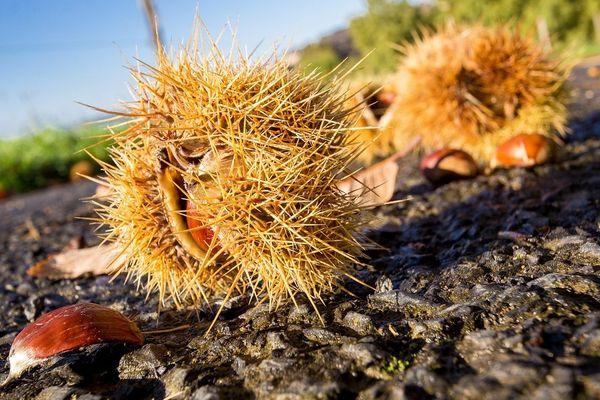 Au programme du week-end, plusieurs sorties de découverte des produits de la forêt... C'est la saison pour ramasser les châtaignes.