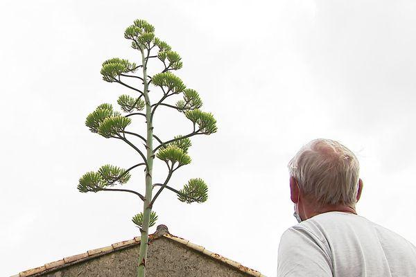 Un agave haut comme une grange est sur le point de fleurir