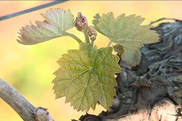 La transparence des feuilles montre qu'elles ont été touchées par le gel.