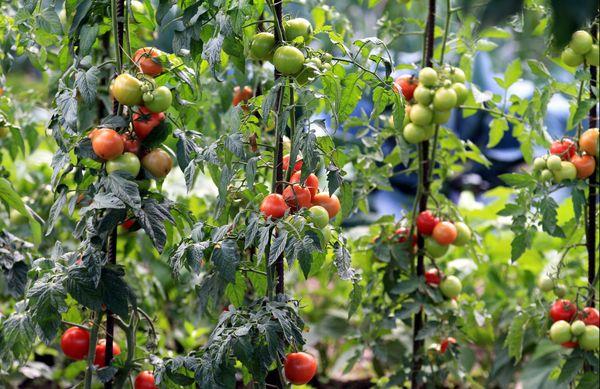 Y aura-t-il des tomates cette année dans les potagers alsaciens ?