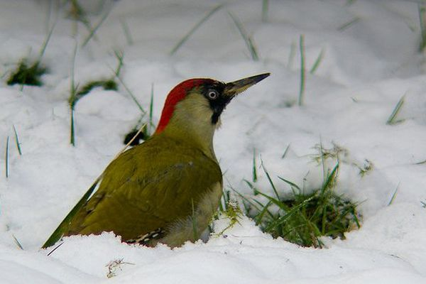 Un pic-vert dans la neige