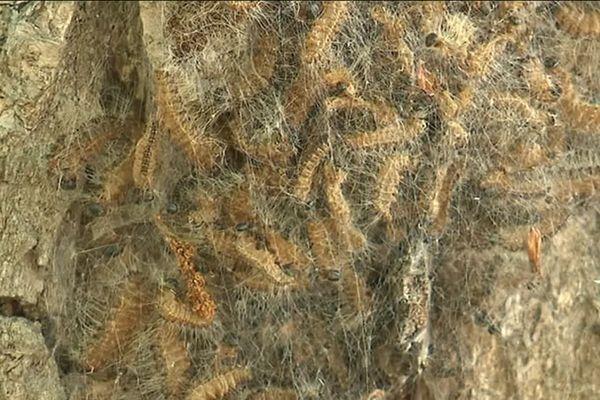 Dans plusieurs forêts de Picardie, de nombreux nids de chenilles processionnaires ont été localisés par l'Office national de forêts.