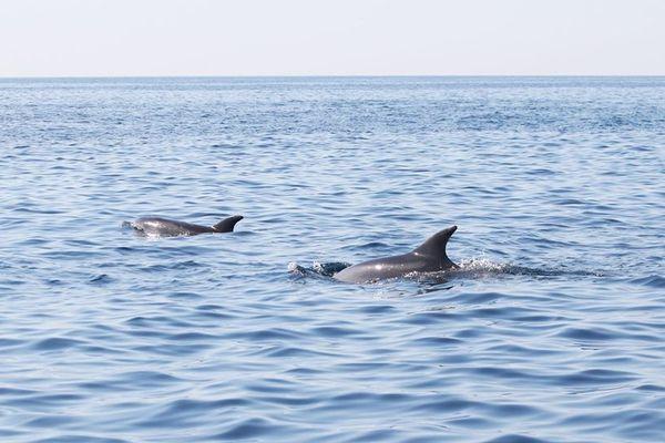 Les dauphins ne sont pas rares dans le parc national des calanques mais pas aussi nombreux.