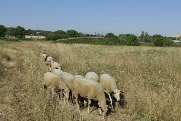 """Des brebis de la race """"Causses du Lot""""  vont entretenir un terrain de 3,3 hectares situé à l'arrière des Moulins Dumée, à Gron, dans l'Yonne."""
