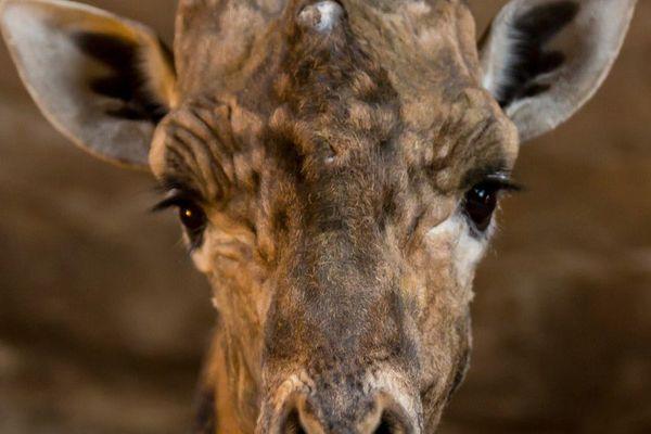 Sache, le doyen des girafes mâles d'Europe est mort à 30 ans au Bioparc de Doué-la-Fontiane