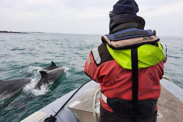 L'Iroise accueille deux groupes de Grand dauphins côtiers : une centaine sur l'archipel de Molène et une quarantainesur la chaussée de Sein