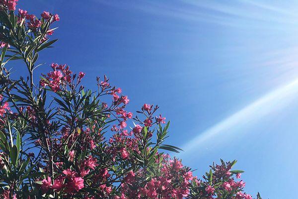 Le laurier rose et rouge fleurissent de mai à octobre. C'est l'arbuste méditerranéen par excellence qui nous accompagne tout l'été.