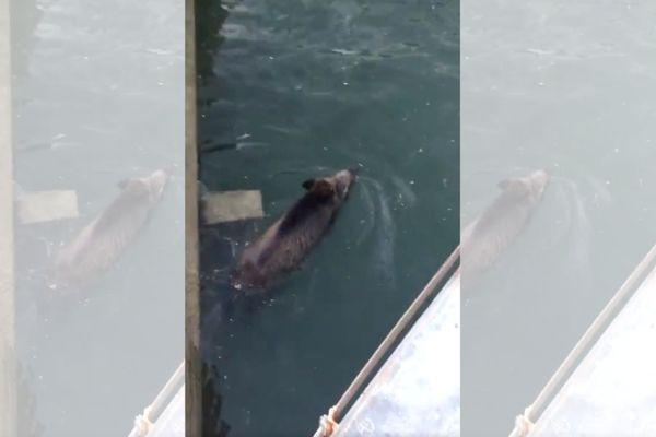 Un sanglier surpris en train de nager dans le port de Saint-Nazaire