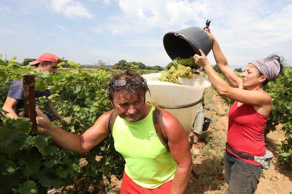Fitou (Aude) - les vendanges de raisin bio ont débuté le lundi - 28 juillet 2020.