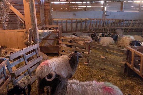 Les brebis de race Manech dans la bergerie de la ferme Cubières au Fossat en Ariège
