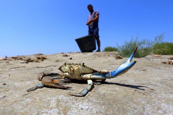 En Albanie, le crabe bleu est devenu la bête noire des pêcheurs.