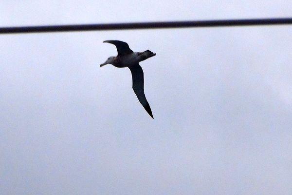 Albatros sous le regard d'Alessandro Di Benedetto
