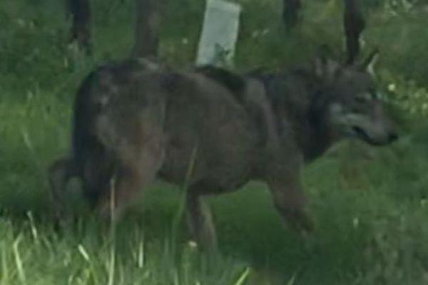 Le loup gris, photographié à Saint-Thomas de Conac, en Charente-Maritime.