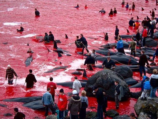 Massacre de  baleines pilotes (cousines des dauphins) aux îles Féroés, le 24 juillet 2015