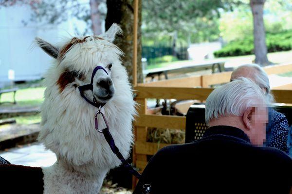 Pelochon le lama est allé à la rencontre des patients de l'hôpital nord Louise-Michel de Clermont-Ferrand.