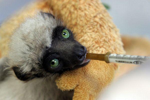 """Archive : Tahina est une femelle Propithèque couronnée de la famille des lémuriens. Elle est née le 27 décembre 2008 à Besançon. Un événement exceptionnel pour une espèce en voie d'extinction. Tahina signifie """"qui faut protéger"""" en Malgache."""