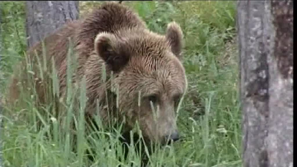 Béarn : l'ours divise les chasseurs