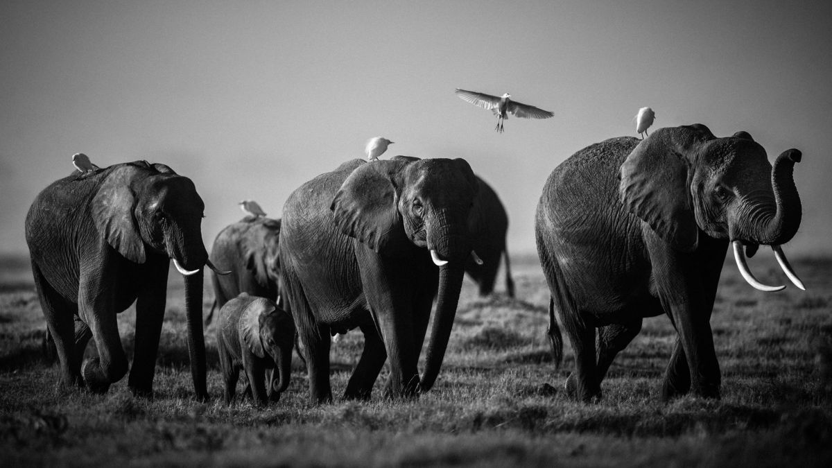 1689-Elephant-Flying over giants, Kenya 2015 / © Laurent Baheux