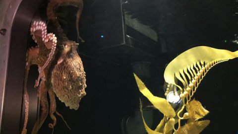 La pieuvre géante, nouvelle attraction de l'aquarium Mare Nostrum