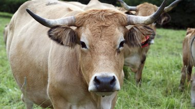 Une vache Aubrac (photo d'illustration) / © CC Jean Weber/Inra