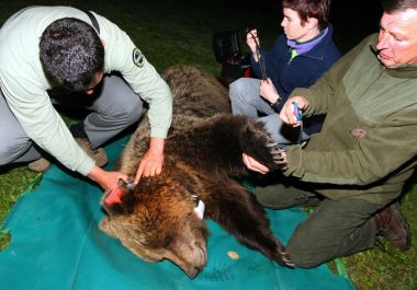 """French and Slovenian veterinarians measure a wild bear, called """"Hvala,"""" in French """"Merci,"""" before its transport to France, after it was caught in village of Masun, near the southeastern Slovenian town of Ilirska Bistrica, early 17 May 2006. Slovenian experts proceeded with an operation to catch brown bears that will be sent to the French southewestern Pyrenees mountains to repopulate. The Slovenian government signed an agreement with France in September 2005 to send the bears to the Pyrenees, where bears have almost completely disappeared. Merci is third and the last bear to be sent to France. The five year-old female was returned later 17 May 2006 to the wild amid conditions of strict secrecy to avoid sparking protests by local anti-bear activists. AFP PHOTO/ Stringer/ ZGS / © STRINGER / AFP"""
