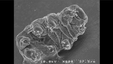 Un tardigrade Hypsibius exemplaris grossi 800 fois en microscopie électronique à balayage / © IBMM, University of Montpellier, CNRS, ENSCM, Montpellier, France