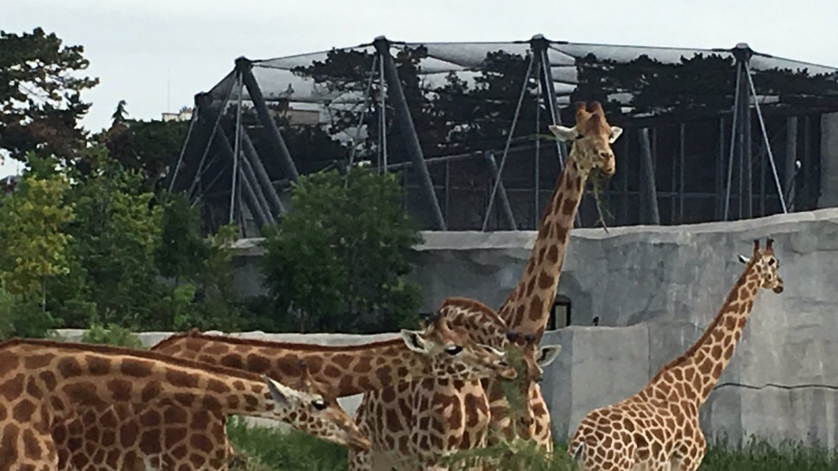 Les 15 girafes du Parc Zoologique de Paris constituent l'un des plus grands troupeaux captifs d'Europe. / © France 3 Paris Île-de-France
