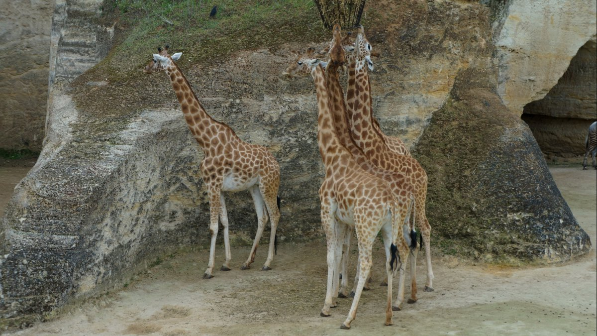 Les zoos : l'attraction animale