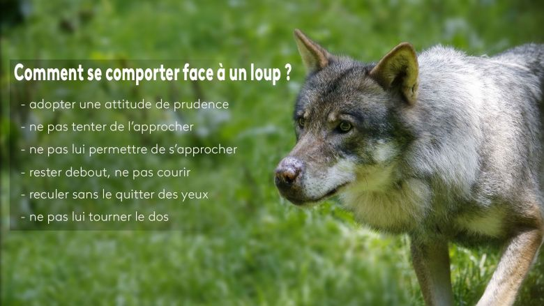 Les Loups du parc animalier Alpha dans le Mercantour / © IP3 PRESS/MAXPPP