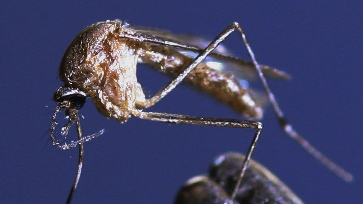 Moustique du genre Culex, pouvant transmettre le virus du Nil occidental / © JEFF TOPPING / Getty Images North America / AFP