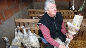 Gavage traditionnel chez une productrice de foie gras du Sud-Ouest / © PHOTOPQR/SUD OUEST / Amat Michel