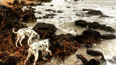 Les dalmatiens aiment les forts coefficients / © Xavier Collombier