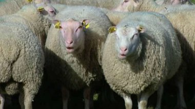 Charmoise : race ovine / © France 3 Centre