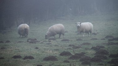 Moutons brumeux / © OliBac / cc flickr