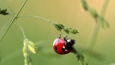 Coccinelle / © Image Pixabay