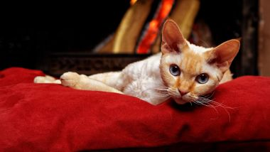 © Devon rex by Tomcat via Pixabay copyright