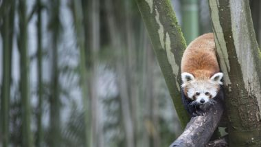 Un panda roux réfugié dans un arbre, en 2015, au zoo de Mulhouse - Photo d'illustration / © Sébastien BOZON / AFP